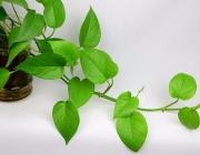 净化空气十五大植物
